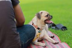 Мопс сидя в зеленом поле с человеком Стоковая Фотография RF