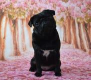 Мопс сидя с предпосылкой вишневого цвета Стоковые Изображения RF