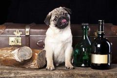 Мопс-собака стоковое фото rf