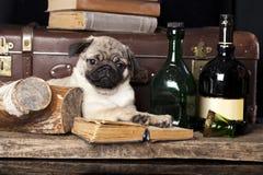 Мопс-собака стоковые изображения