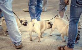 Мопс-собаки закрывают вверх Стоковые Фотографии RF