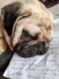 Мопс спать стоковые изображения rf