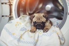 Мопс щенка лежит на постельном белье в стиральной машине Красивая бежевая маленькая собака уныла в ванной комнате Стоковая Фотография