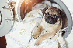 Мопс щенка лежит на постельном белье в стиральной машине Красивая бежевая маленькая собака уныла в ванной комнате Стоковые Фотографии RF