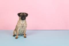 Мопс щенка на сини и пинке Стоковые Изображения RF