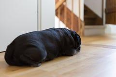 мопс mops названный adelheid спать на горячий августовский день стоковая фотография rf