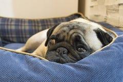 Мопс napping в корзине стоковое изображение