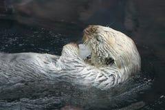 море выдры Стоковое Фото