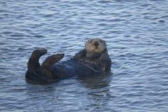 море выдры lutris enhydra Стоковая Фотография