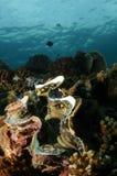 море гиганта clam стоковое фото rf