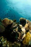 море гиганта clam стоковое изображение rf