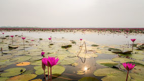 Море лилии красной воды, розовой лилии воды в природе Стоковые Фотографии RF