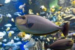 Море и океан vlamingii Naso unicornfish Bignose тропические удят Стоковые Фото