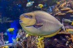 Море и океан vlamingii Naso unicornfish Bignose тропические удят Стоковые Изображения