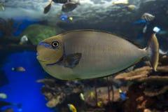 Море и океан vlamingii Naso unicornfish Bignose тропические удят Стоковые Фотографии RF