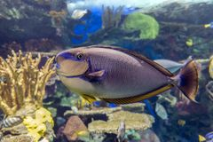 Море и океан vlamingii Naso unicornfish Bignose тропические удят Стоковая Фотография RF