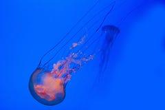 море крапив Стоковое Изображение RF