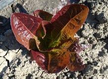 Море красного салата, Lactuca sativa Стоковое фото RF