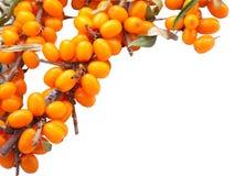 море крушины ветви ягод Стоковые Фото