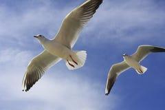 море летая чайки Стоковые Фотографии RF