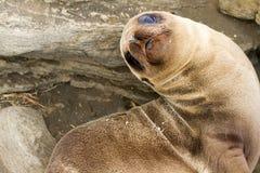 море льва младенца Стоковое Фото