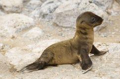море льва острова galapagos младенца Стоковое Изображение