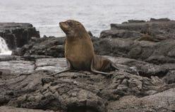 море льва островов galapagos шерсти стоковая фотография