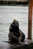 море льва стыковки california lounging Стоковые Изображения RF
