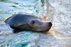 море льва Стоковое Изображение RF