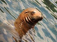 море льва Стоковые Фото