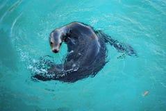 море льва Стоковые Фотографии RF
