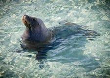море льва Стоковое Изображение