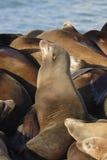 море льва Стоковые Изображения RF