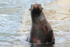 море льва california Стоковые Фотографии RF