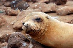 море льва galapagos Стоковые Изображения RF