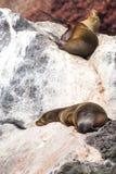 море льва galapagos Стоковое Изображение RF