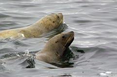 море льва jubatus eumetopias северное Стоковое Фото