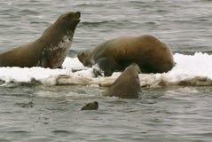 море льва jubatus eumetopias северное Стоковые Изображения RF