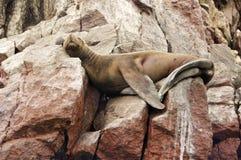 море льва lounging Стоковое Изображение RF