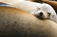 море львов Стоковые Фото