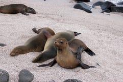 море львов galapagos Стоковые Фото