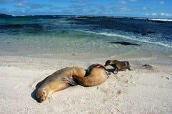 море львов galapagos Стоковое Изображение RF