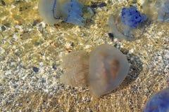 Море Медуза около берега Стоковые Изображения