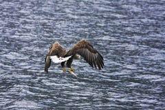 море орла Стоковые Фотографии RF