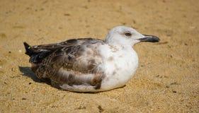 море песка чайки Стоковые Изображения RF