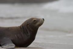 море профиля льва Стоковая Фотография RF