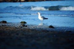 Море пляжа чайки Стоковые Фотографии RF