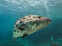 море рифа картошки басовой трески барьера гигантское большое Стоковое Изображение