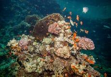 море рифа коралла красное Стоковое Фото