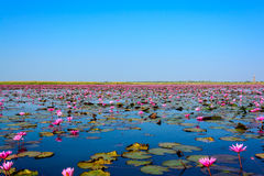 Море розового лотоса в Udon Thani, Таиланде стоковые изображения